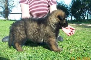 6 week Black Sable puppy