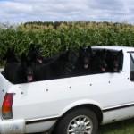Black Dogs2