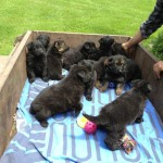 Tilly pups moving camp 027