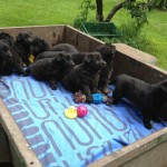 Tilly pups moving camp 031