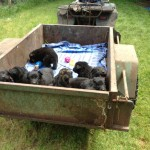 Tilly pups moving camp 039