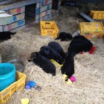 Tilly pups moving camp 045