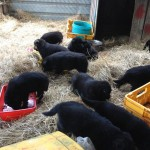 Tilly pups moving camp 050