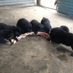puppies 4 bit weeks biggest rib bone 003