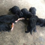 puppies 4 bit weeks biggest rib bone 008