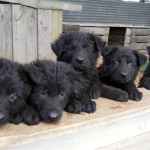 puppies-for-web-6-weeks